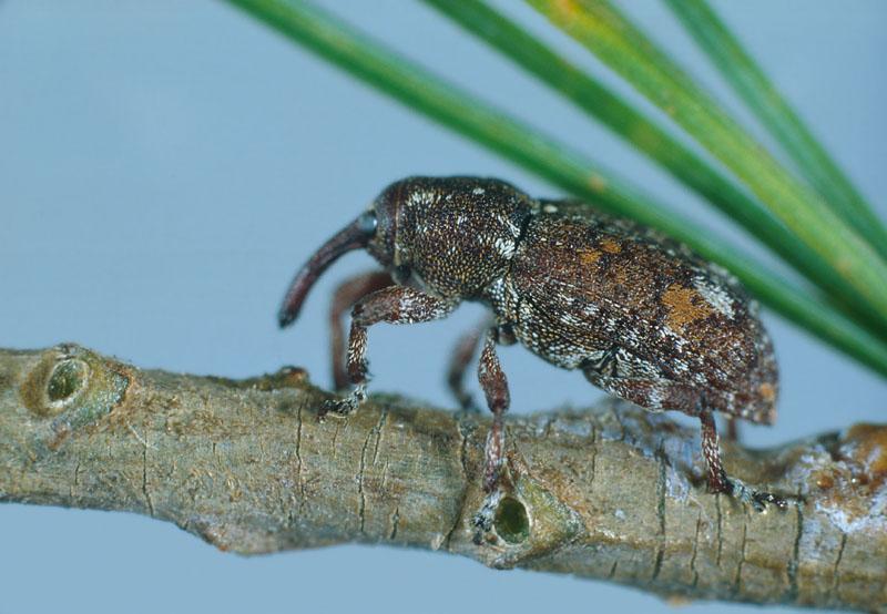 Charançon du tronc des pins - Vue latérale de l'adulte
