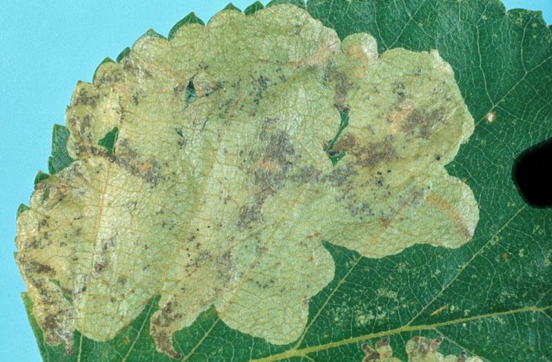 Tenthrède mineuse de Thomson - Mine contenant plusieurs larves