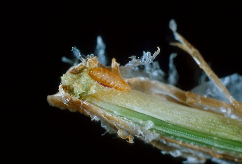 Cécidomyie du pin rouge - Larve dans la gaine de l'aiguille de pin rouge
