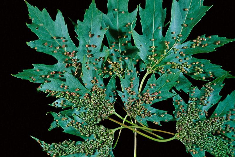 Phytopte vésiculaire de l'érable