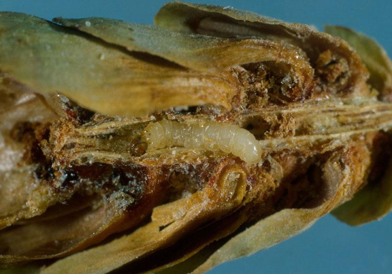 Tordeuse des graines de l'épinette - Larve dans sa galerie dans l'axe du cône