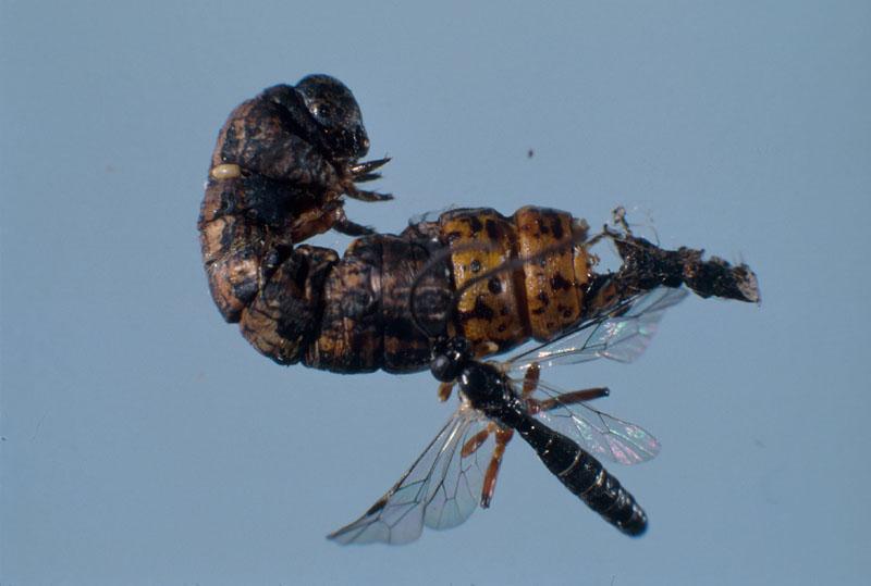 Pimplinelle à bandes blanches (nom proposé) - Parasitoïde mâle émergé de la prépupe de l'arpenteuse de la pruche