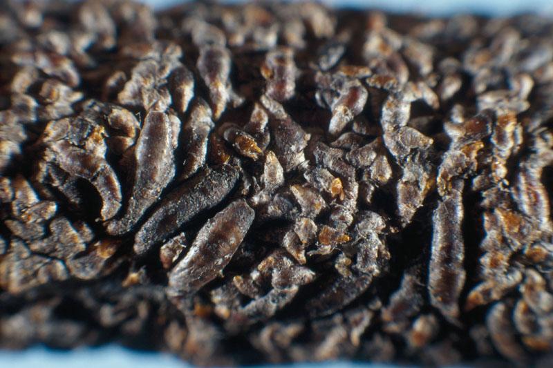 Cochenille virgule du pommier - Cochenilles sur la branche