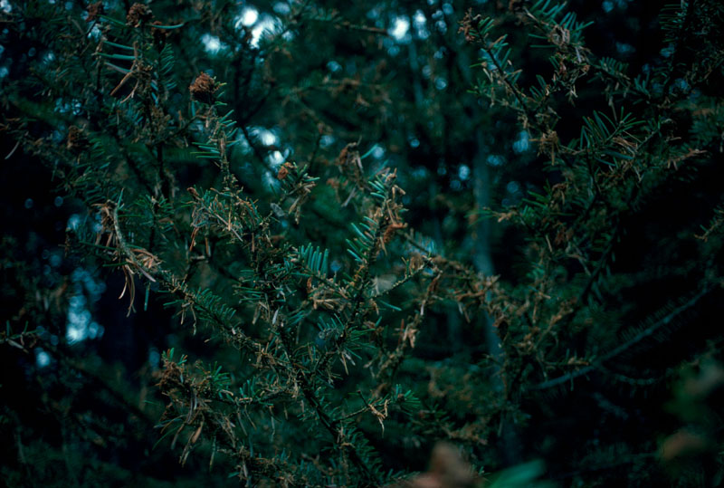 Tordeuse des bourgeons de l'épinette