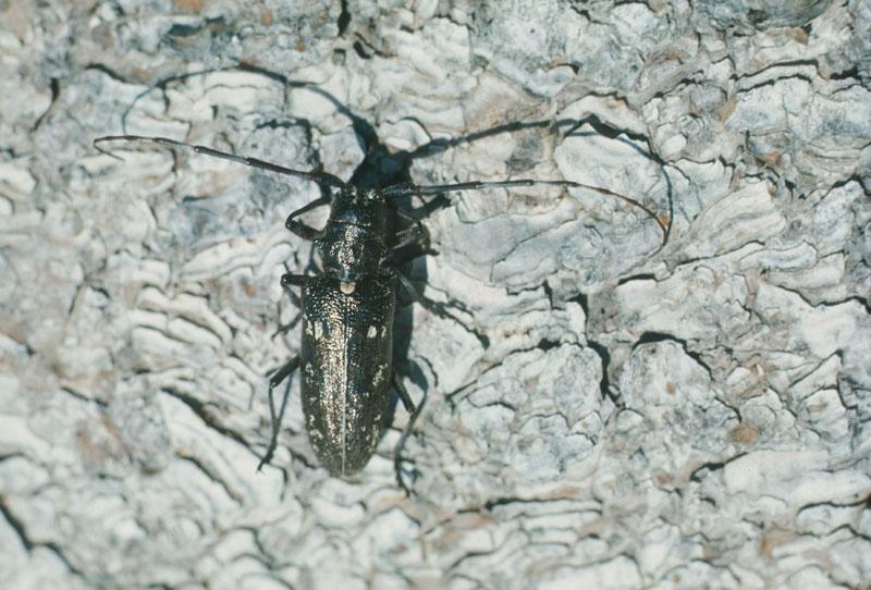 Longicorne noir