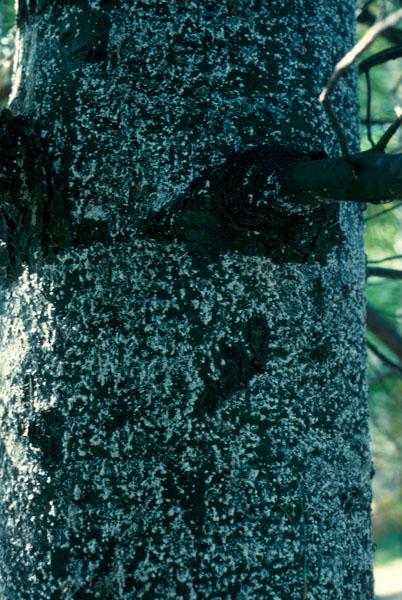 Puceron de l'écorce du pin - Tronc de pin blanc recouvert de cire blanche sécrétée par les pucerons
