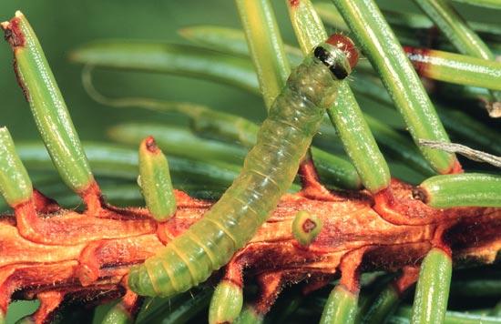 Tordeuse à tête noire de l'Ouest - Vue dorsale d'une larve mature sur une épinette d'Engelmann