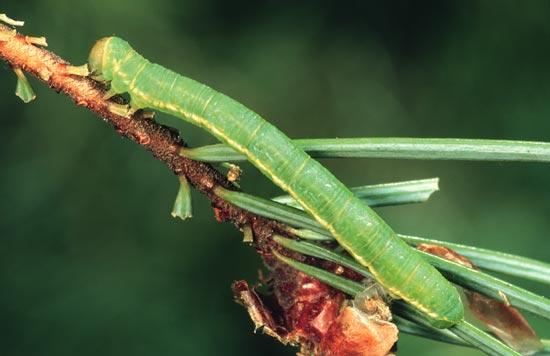 Arpenteuse verte du sapin - Vue latérale d'une larve mature