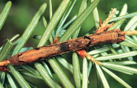 Arpenteuse bossue de la pruche - Vue dorsale d'une larve mature sur une pruche de l'Ouest