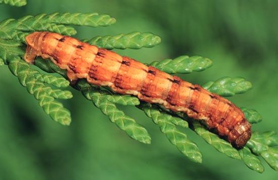 - Vue latérale d'une larve mature (forme brun rouille) sur un thuya géant