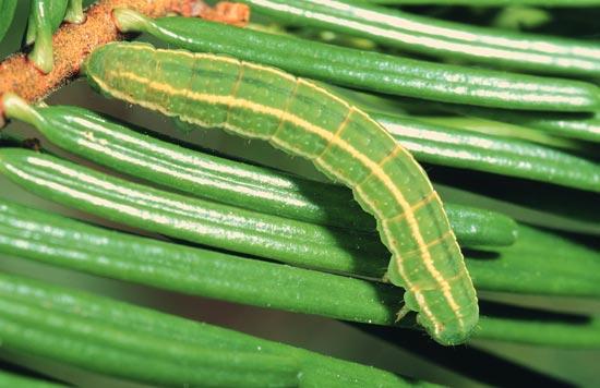 Arpenteuse verte veloutée - Vue dorsale  d'une larve mature sur un sapin grandissime