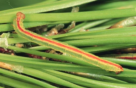 <em>Eupitheciaornata</em> - Vue dorsale d'une larve mature