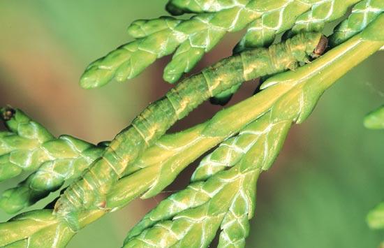 <em>Eupitheciaunicolor</em> - Vue latérale d'une larve mature sur un thuya géant