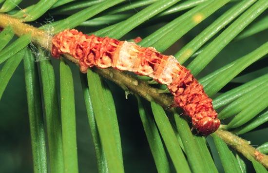 <em>Gabrioladyari</em> - Vue dorsale d'une larve mature