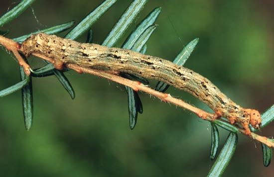 Arpenteuse de la pruche de l'Ouest - Vue dorsale d'une larve mature sur une pruche de l'Ouest