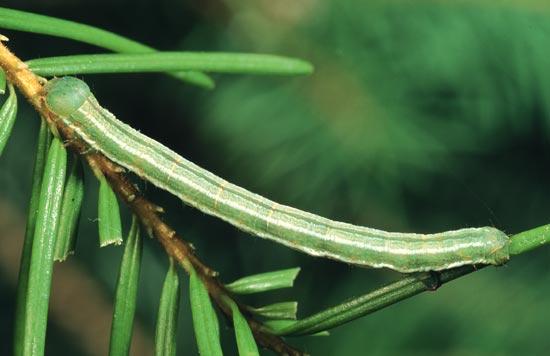 Mélanophe des conifères - Vue dorso-latérale d'une larve mature sur un Douglas taxifolié