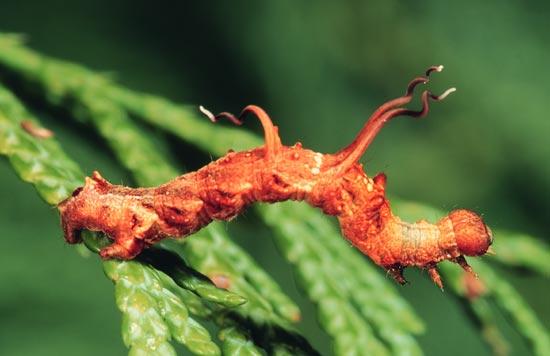 Nématocampe - Vue dorso-latérale d'une larve mature sur un thuya géant