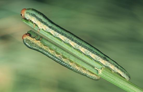 <em>Neodiprionmundus</em> - Avant-derniers stades  larvaires dévorant des aiguilles de pin ponderosa