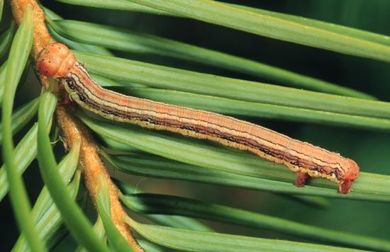 Arpenteuse de Freeman - Vue dorso-latérale d'une larve mature sur un Douglas taxifolié