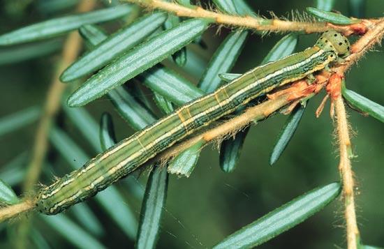 Arpenteuse verte de la pruche - Vues dorso-lartérale et latérale d'une larve mature sur une pruche de l'Ouest