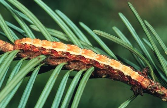 <em>Nepytiaumbrosaria nigrovenaria</em> - Vue dorso-latérale d'une larve mature sur un Douglas taxifolié