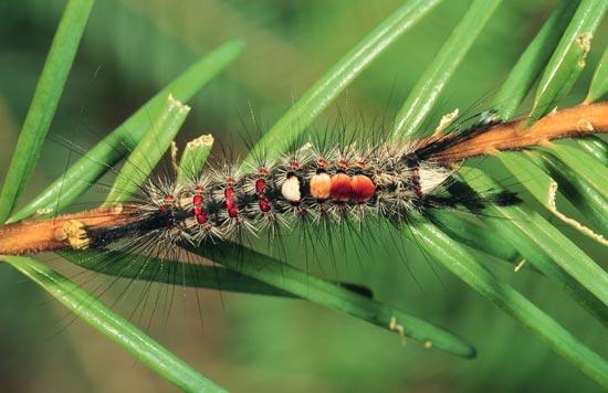 Chenille à houppes du Douglas - Vue dorsale d'une larve mature sur Douglas taxifolié