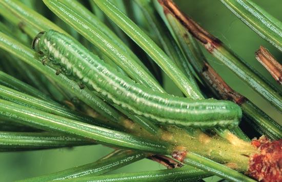 Tenthrède à tête verte de l'épinette