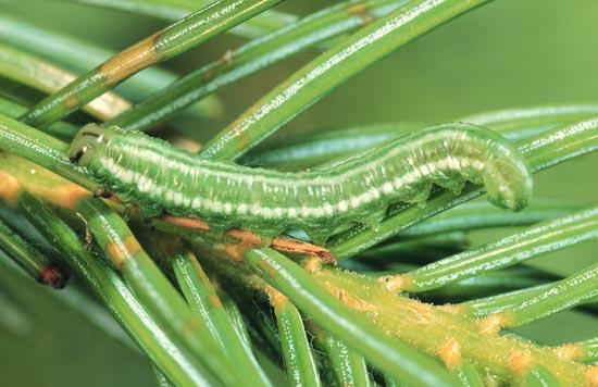 Tenthrède à tête verte de l'épinette - Vue latérale d'une larve mature sur une épinette d'Engelmann