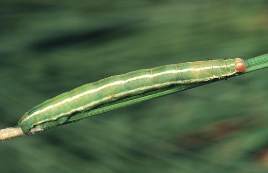 <em>Sabulodesedwardsata</em> - Vue dorso-latérale d'une larve mature sur un pin ponderosa