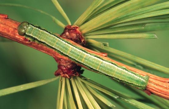 Arpenteuse verte du mélèze - Vue dorsale d'une larve mature (forme verte) sur un mélèze de l'Ouest