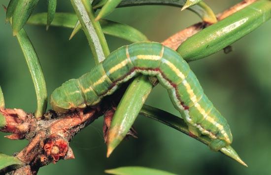 <em>Theraotisi</em> - Vue dorso-latérale d'une larve mature sur un génévrier commun