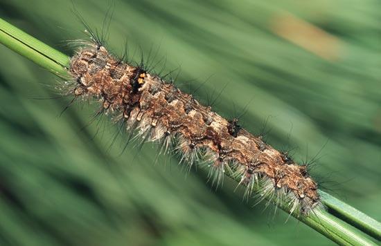 <em>Tolypedayi</em> - Vue dorso-latérale d'une larve mature sur un pin ponderosa