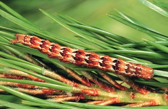 Noctuelle du pin - Vue dorsale d'une larve mature (forme brun rouille) sur un pin tordu