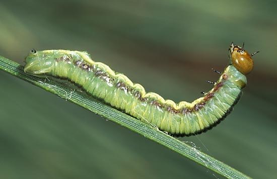 - Vue latérale d'une larve mature, sur pin ponderosa.