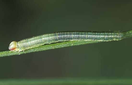 <em>Glenanigricaria</em> - Vue dorso-latérale d'une chenille de stade intermédiaire, sur pin ponderosa.