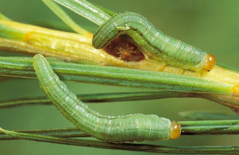 Tenthrède bilignée -  Larve mature, sur mélèze de l'Ouest.