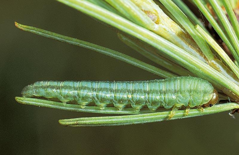Tenthrède trilignée - Vue dorsale d'une larve mature s'alimentant, sur mélèze laricin.