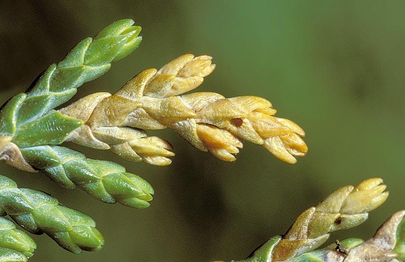 Perce-pousse du cyprès