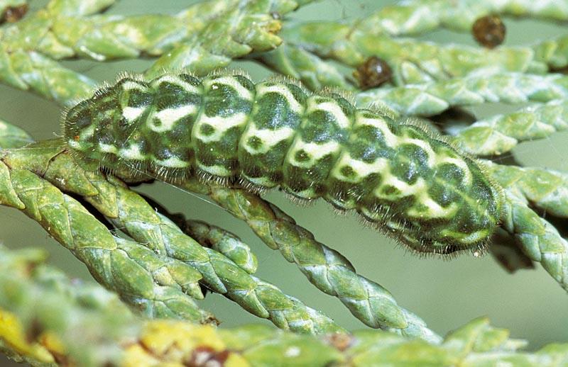 <em>Callophrysgrynea barryi</em> -