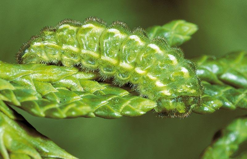 <em>Callophrysgrynea rosneri</em> -