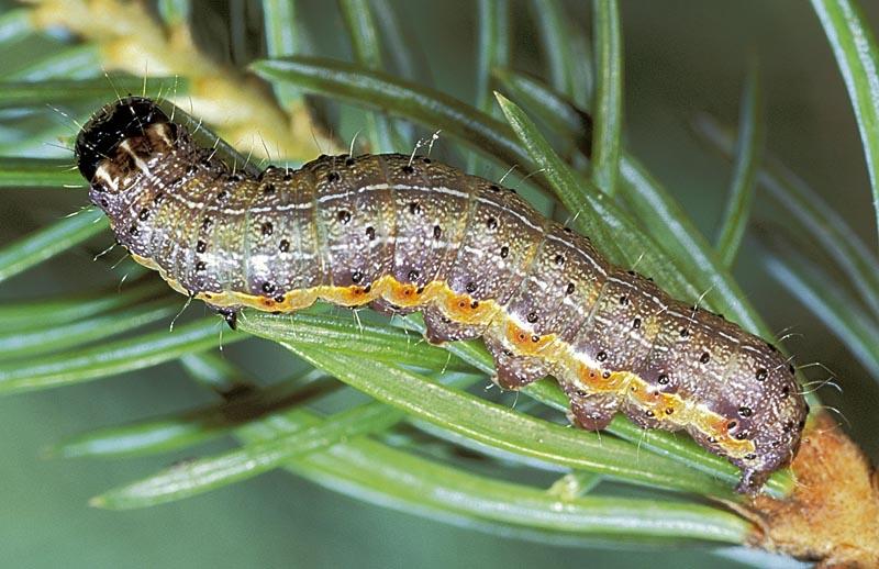 - Vue dorso-latérale d'une larve mature sur une épinette de Sitka