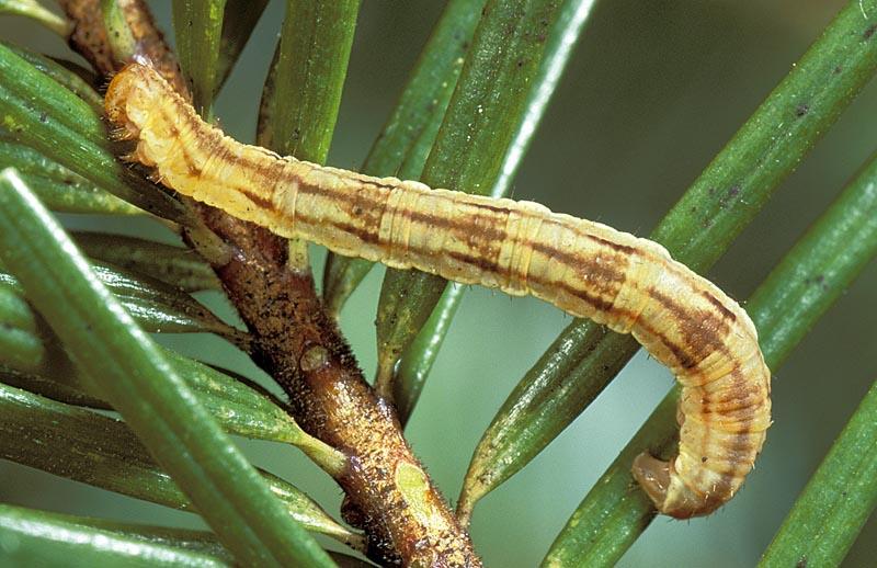 <em>Eupitheciaannulata</em> -