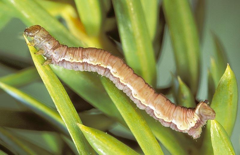 <em>Eupitheciainterruptofasciata</em> - Vue dorso-latérale d'une chenille mature (forme brune), sur genévrier commun.