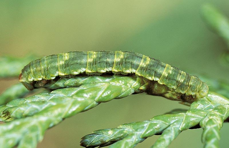 <em>Eupithecianiphadophilata</em> -