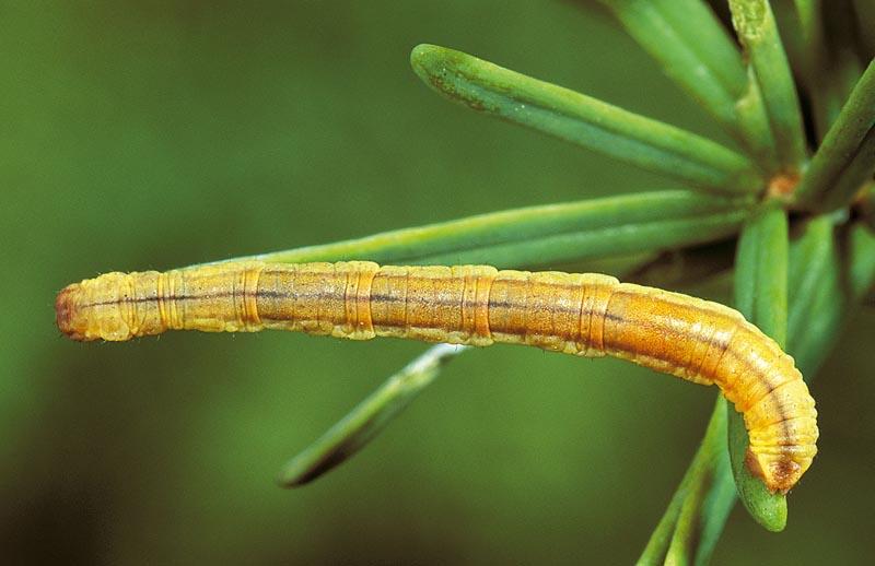 Arpenteuse (petite) du pin -