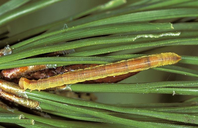 Arpenteuse (petite) du pin