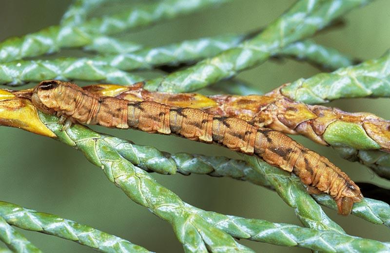 <em>Eupitheciaplacidata</em> -