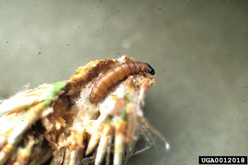 Perce-pousse européen du pin - Larve
