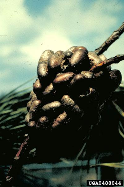 Diprion importé du pin