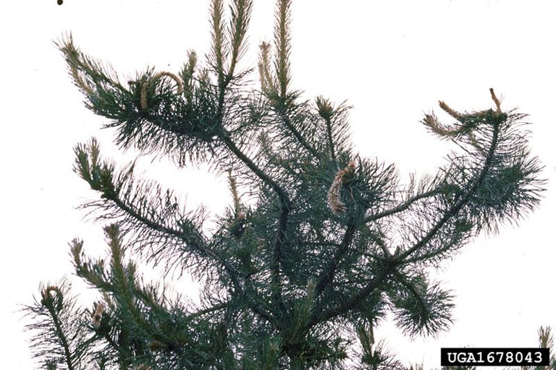 Perce-pousse européen du pin